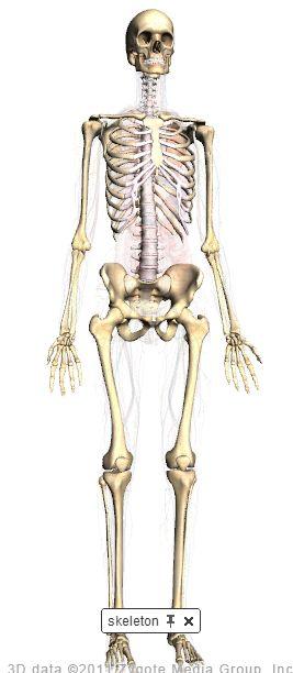 mennesket anatomi
